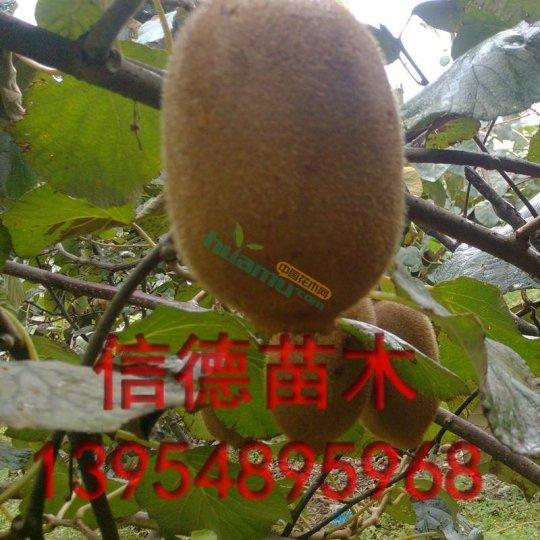 猕猴桃树苗 猕猴桃苗价格