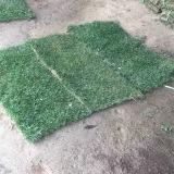 四季青草皮