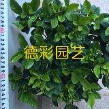 150杯进口泥炭土小叶栀子花盆栽