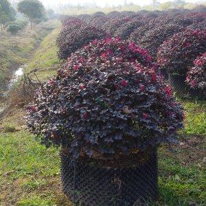 【红花檵木球】冠幅130厘米红花继木球价格_图片_行情