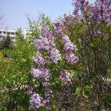 丛生紫丁香