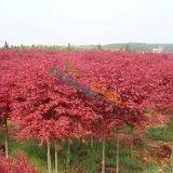 4公分美国红枫