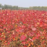 3公分美国红枫