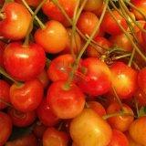 早红宝石樱桃苗