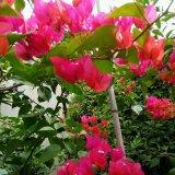 中国红叶子花