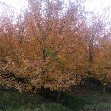 美国红枫 秋火焰8公分