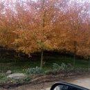 美国红枫 十月光辉5公分