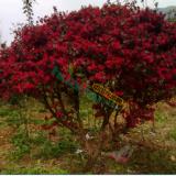 精品红桤木