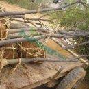 榉树3公分