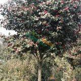 12公分茶花树