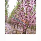 日本丽桃帚桃白色粉色