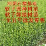 苗圃1-2年河阴突尼斯软籽石榴树苗