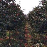 8公分茶花树