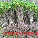 荥阳河阴软籽石榴树苗1年苗