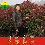 鲁宾斯红叶石楠苗