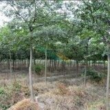 5-7公分朴树