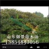1米白皮松多少钱御景苗木场出售1米白皮松 白皮松价格
