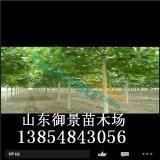 御景苗木场供应5公分法桐 8公分法桐 法桐价格 法桐基地