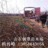 1米皂角种植基地 2米皂角产地 泰安皂角批发 皂角价格