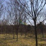 12-15公分精品榉树