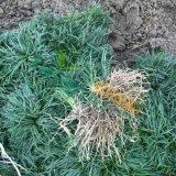 矮麦冬草坪价格 江苏矮麦冬草价格 日本矮麦冬出售