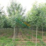 白腊树木树苗
