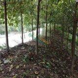 低价处理秋枫树8-12cm