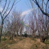 精品移栽丛生朴树
