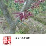 悠然园林 精品红枫树(日本红枫) 7~10公分