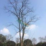 33公分朴树