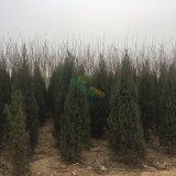 出售北京快柏5000万余棵/2米至3米树型好