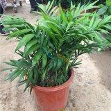 H30cm 袖珍棕矮生椰子盆栽