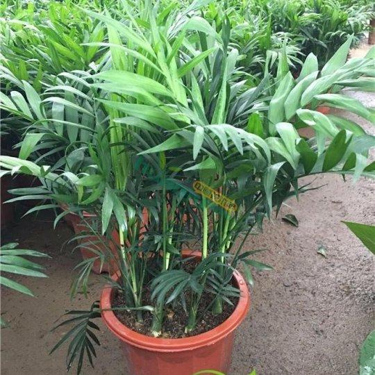 袖珍棕矮生椰子