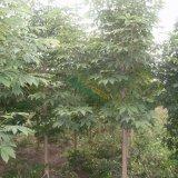 七叶树8-20公分