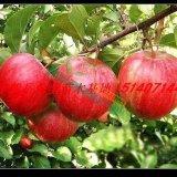 辽宁矮化寒富苹果苗