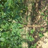 五年生构树