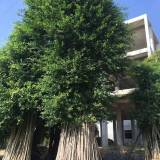 景观小叶榕桩头