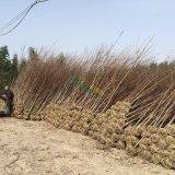 美国红枫(秋火焰)一年苗可出货10万颗,浙江货源