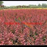 各种规格红叶小檗