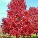 3公分美国红枫(秋火焰)