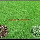 优质草坪种子饱满度高 品种齐全