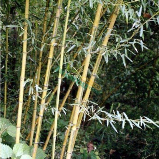 优质金香玉竹