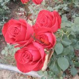 红色玫瑰种苗