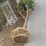 12公分枇杷树