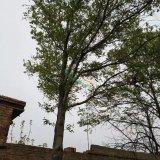 25年杜仲树