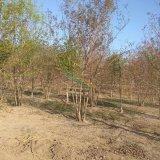 丛生元宝枫   4-8分枝   每分枝3-6cm