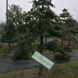 鸿运果精品造型树