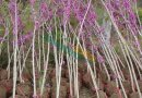 基地紫荆小苗