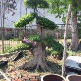 三角枫盆景
