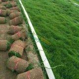 早熟禾 草坪